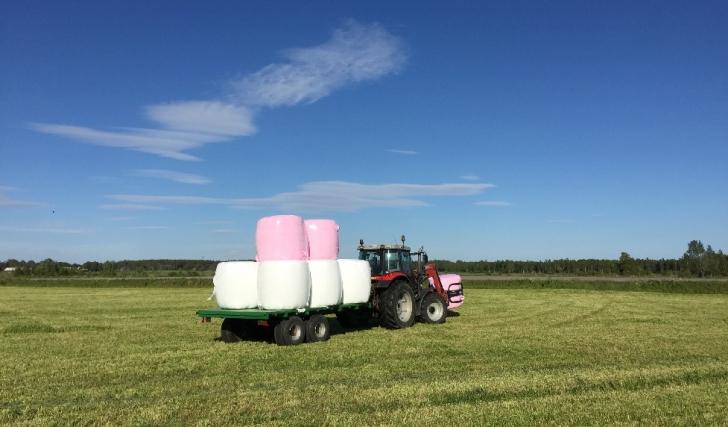 Vår typ av landsbygdsuppror: rosa balar