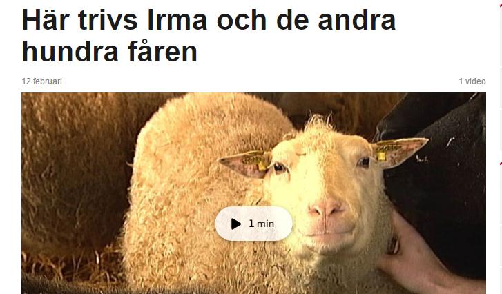 Här trivs Irma och de andra 100 fåren
