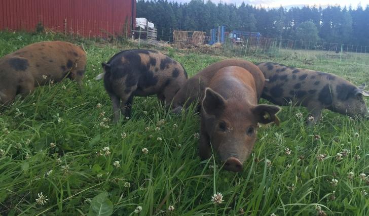 Fem små grisar