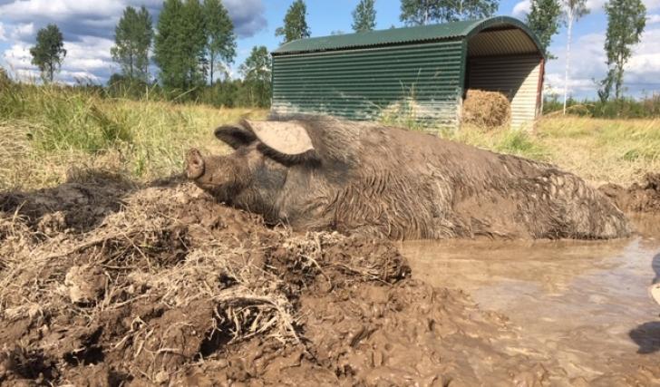 Ett vanligt grisliv är inte svinkul